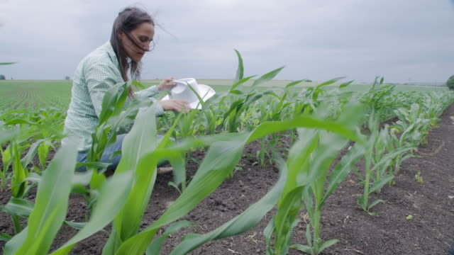farmer woman examining young corn plants in the middle of a cultivated field. walking and checking out the plants, using digital tablet. agricultural occupation. - agricultural occupation stock videos & royalty-free footage