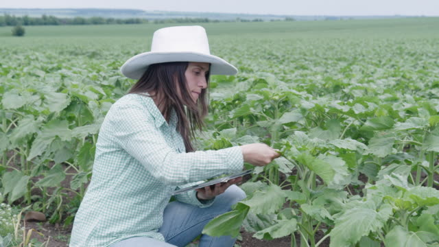 farmer woman examining young sunflower plants in the middle of an agricultural field. walking and checking out the plants, using digital tablet. agricultural occupation. - agricultural occupation stock videos & royalty-free footage