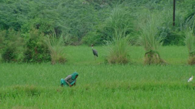 farmer women and sarus crane - bird watching stock videos & royalty-free footage
