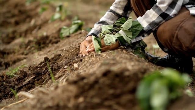 farmer working at farm - sweet potato stock videos & royalty-free footage