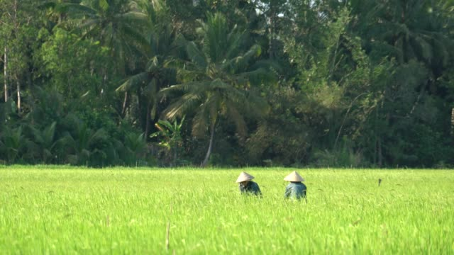 farmer working at rice field - rice paddy stock videos and b-roll footage
