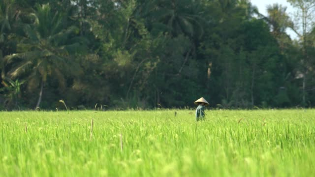 farmer working at rice field - rice plant stock videos and b-roll footage