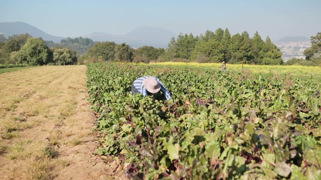 vídeos y material grabado en eventos de stock de agricultor que trabaja en el campo de la remolacha - oficio agrícola