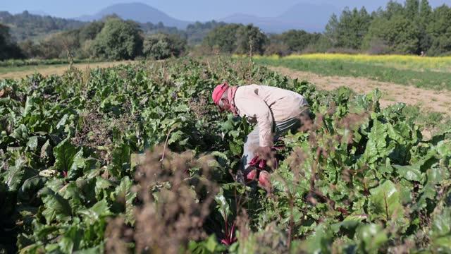 vídeos y material grabado en eventos de stock de agricultor que trabaja en el campo de la remolacha orgánica en méxico - campo tierra cultivada