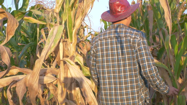vídeos y material grabado en eventos de stock de trabajo de campo de maíz en granja - contenedor de muestras