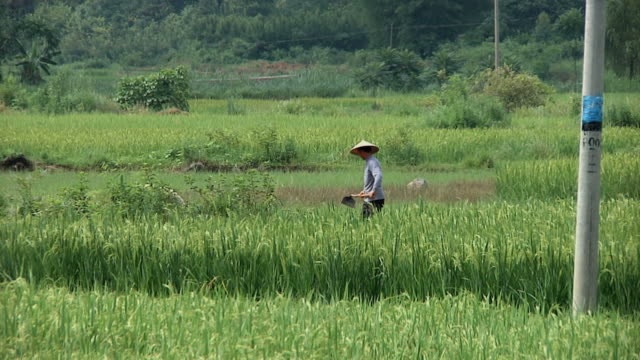 ws farmer working in rice field / yangshuo, guangxi, china - rice stock videos & royalty-free footage