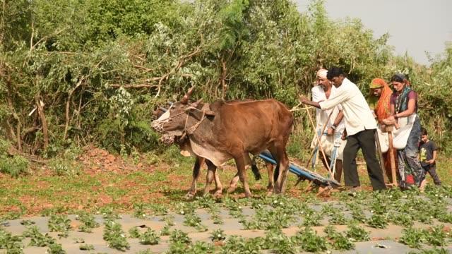 Farmer working in strawberry field