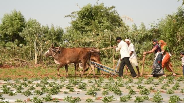 vídeos de stock, filmes e b-roll de farmer working in strawberry field - animal de trabalho