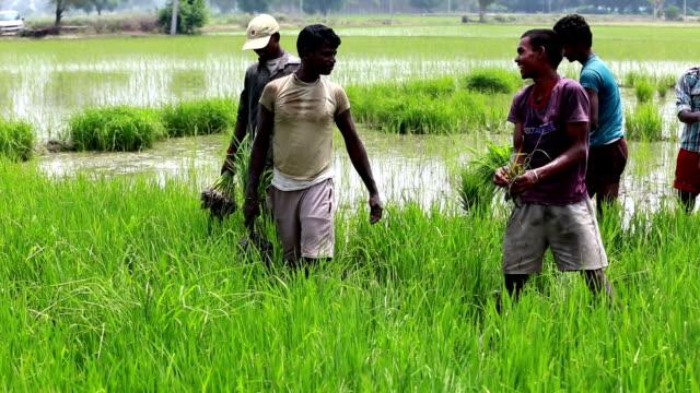 farmer working in the field - paddy field stock videos & royalty-free footage