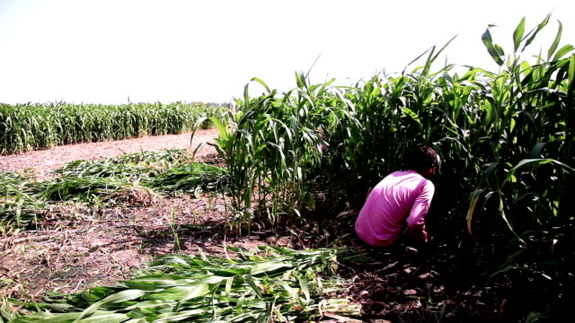 farmer working in the field - sorghum stock videos and b-roll footage