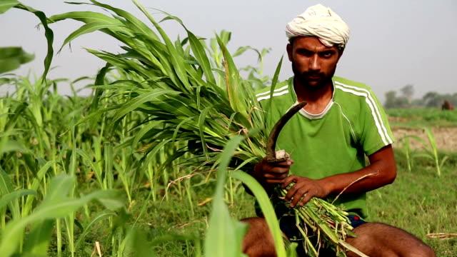 stockvideo's en b-roll-footage met boer werken op het gebied - sorgo