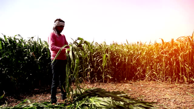 farmer working in the green field - sorghum stock videos and b-roll footage
