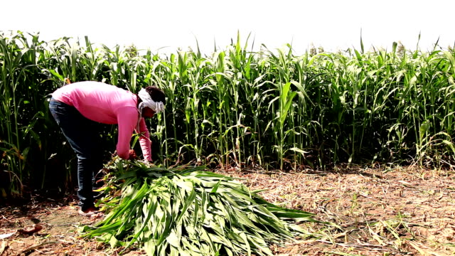 farmer working in the green field - sorghum stock videos & royalty-free footage