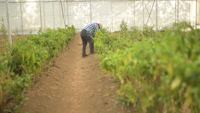 vídeos y material grabado en eventos de stock de agricultor que trabaja en el invernadero - oficio agrícola