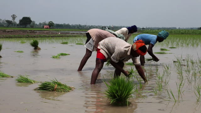 farmer working in the rice paddy field   - punjab india stock videos and b-roll footage