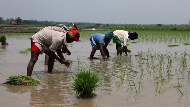 vidéos et rushes de farmer working in the rice paddy field   - indien d'inde