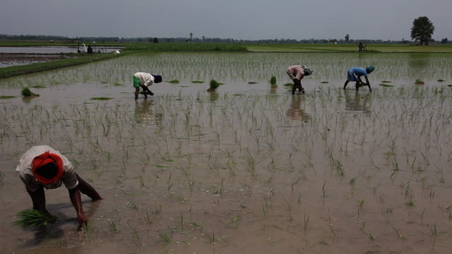 farmer working in the rice paddy field   - rice paddy stock videos and b-roll footage
