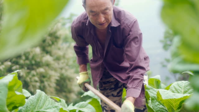 landwirt, der an seinen kulturen arbeitet - tabakwaren stock-videos und b-roll-filmmaterial