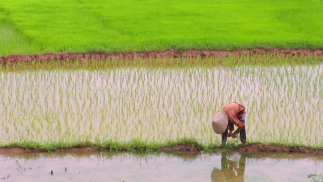 ws farmer working on rice field, hue, vietnam - paddy field stock videos & royalty-free footage