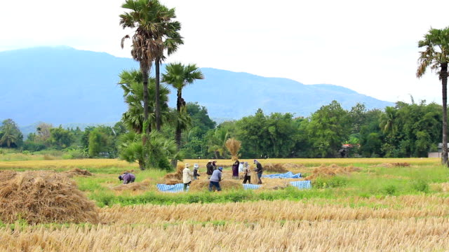 farmer working on rice filed,thailand - stubble stock videos & royalty-free footage