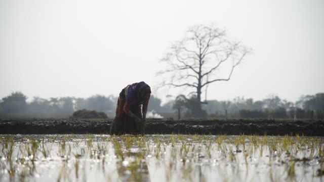farmer works in a paddy field - bildkomposition und technik stock-videos und b-roll-filmmaterial