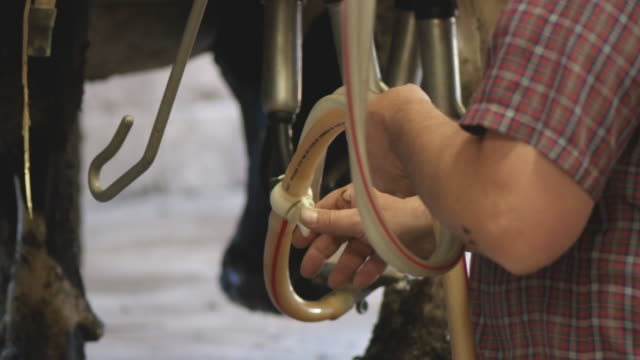 Farmer works in milking shed on his dairy farm