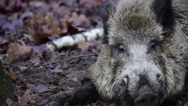 farmers across france are suffering the consequences of an explosion in the wild boar population over the past three decades venturing off woodland... - population explosion stock-videos und b-roll-filmmaterial