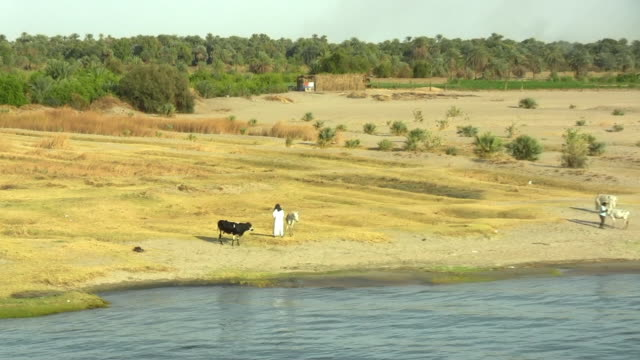 ws, zo, pan, farmers and cattle on riverbank, nile river, egypt - naga river stock videos and b-roll footage