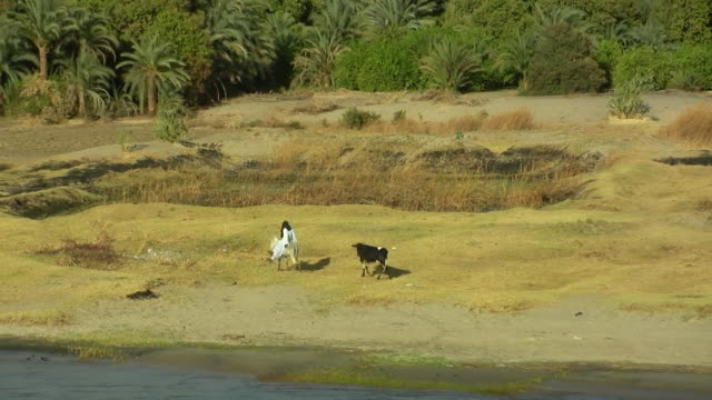 ws, zo, pan, farmers and cattle on riverbank, nile river, egypt - small group of animals stock videos & royalty-free footage