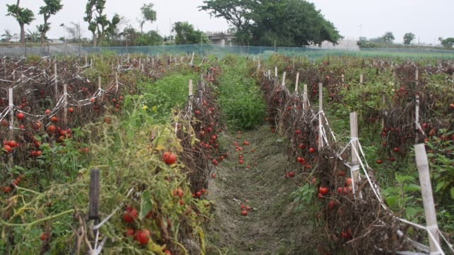 farmers are not able to sell ripe tomatoes. tomatoes are rotting in the tree. as the farm owner is not plucking them due to a dearth of customers... - effort video stock e b–roll
