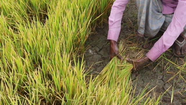 Farmers are working in a Rice seedbed in Dhaka