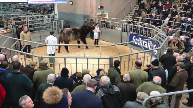 farmers attend the annual stirling bull sales event, one of the biggest in the uk, which runs over two weeks at united auction on february 4, 2019 in... - stirling stock videos & royalty-free footage