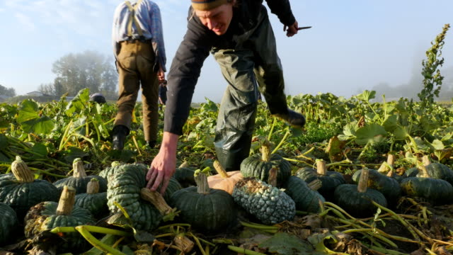 MS Farmers carrying organic squash during harvest in field on fall morning