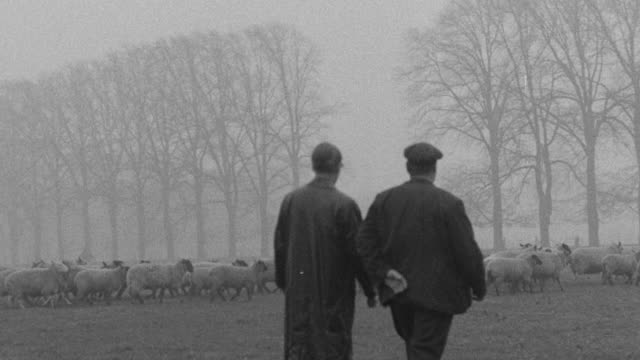 1955 montage farmers checking sheep for signs of foot and mouth disease / united kingdom - foot and mouth disease stock videos & royalty-free footage