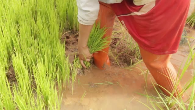 farmers collect bunches of rice seedlings at a rice farm in tong village bokeo province laos on sunday july 30 recently planted bunches of seedlings... - asian style conical hat stock videos & royalty-free footage