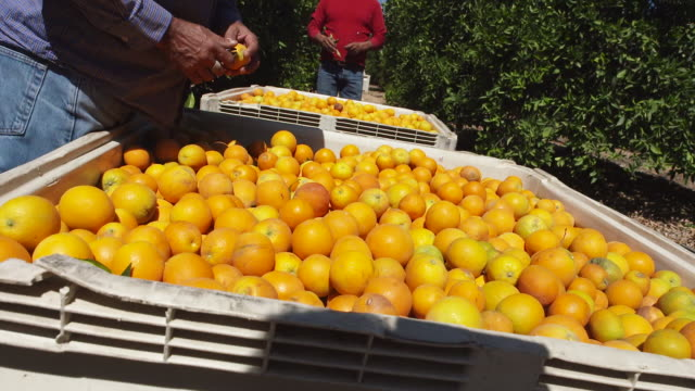 farmers collect ripe oranges, close-up - lavoratore agricolo video stock e b–roll
