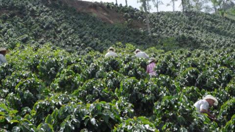 vídeos y material grabado en eventos de stock de agricultores recolectar granos de café - cosechar