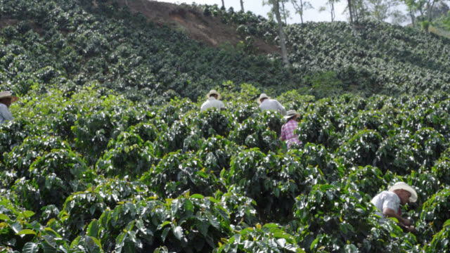 farmers collecting coffee beans - lavoratore agricolo video stock e b–roll
