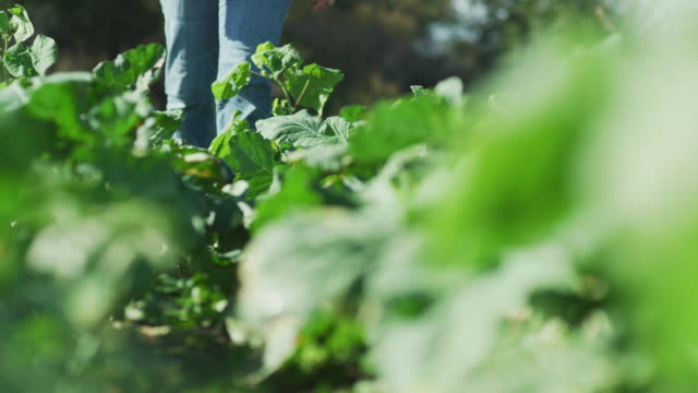a farmer's cowboy boots walk toward camera, down a row of leafy kale plants in a farm-to-table organic garden. - farm to table stock videos & royalty-free footage