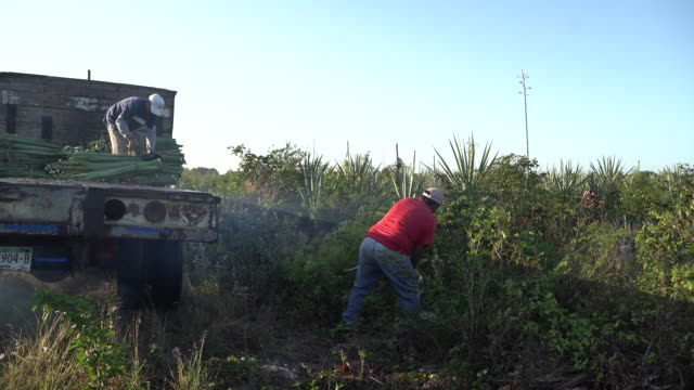 vídeos de stock e filmes b-roll de farmers cropping henequen leaves and taking it to the shredder, where it will be then taken to the cord factory in telchac and baca, tucatan, mexico... - ramo parte de uma planta