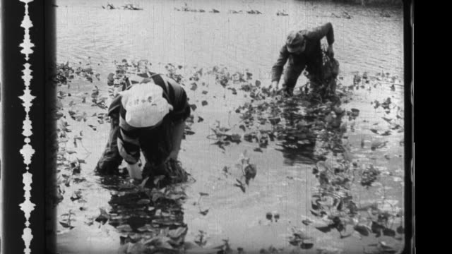 farmers dig sweet potatoes out of a flooded field and take them to market on a cart in japan - root vegetable stock videos and b-roll footage