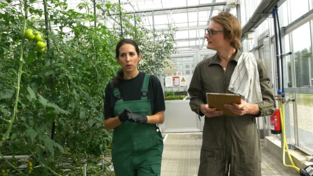 Farmers examining tomato plants in greenhouse