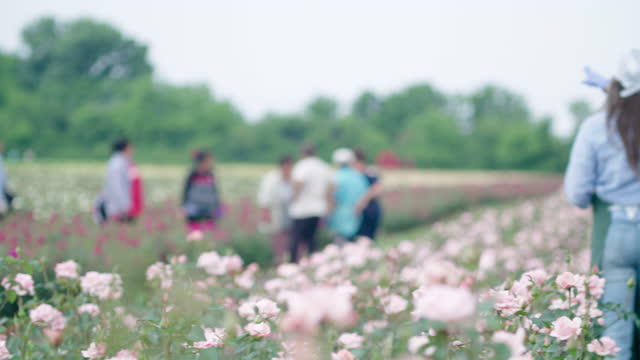 farmer's family examining the new seedlings in the rose plantation. agricultural occupation. family business. unrecognizable people on the background. - agricultural occupation stock videos & royalty-free footage