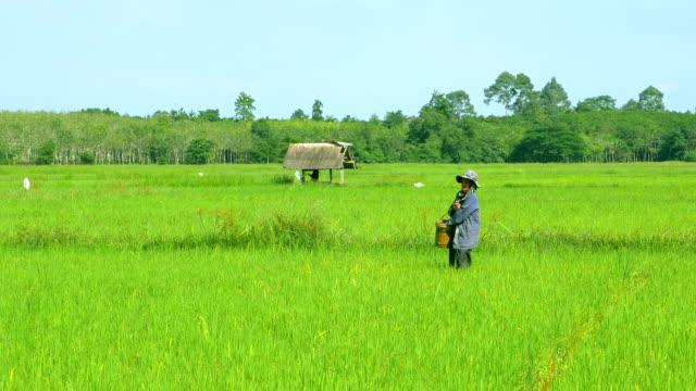farmers fertilize rice in rice fields. - village stock videos & royalty-free footage