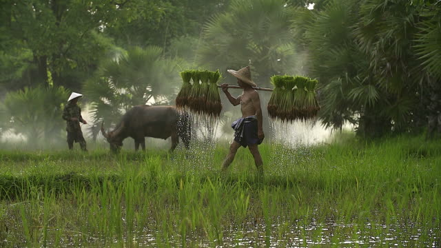 farmers grow rice in the rainy season. he was soaked with water and mud to be prepared for planting. - field stock videos & royalty-free footage