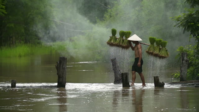 farmers grow rice in the rainy season. he was soaked with water and mud to be prepared for planting. - vietnam stock videos & royalty-free footage