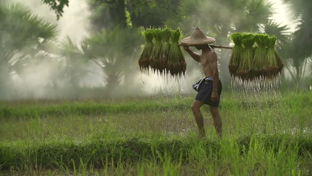 farmers grow rice in the rainy season. he was soaked with water and mud to be prepared for planting. - rice paddy stock videos and b-roll footage