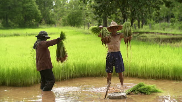 Farmers grow rice in the rainy season. He was soaked with water and mud to be prepared for planting.