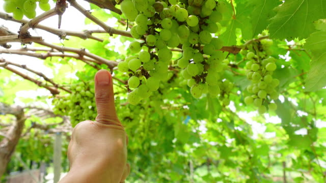 pov , farmer's hand checking grapes on tree  , gmo food , biofood concept , thumbs up , good condition - good condition stock videos & royalty-free footage