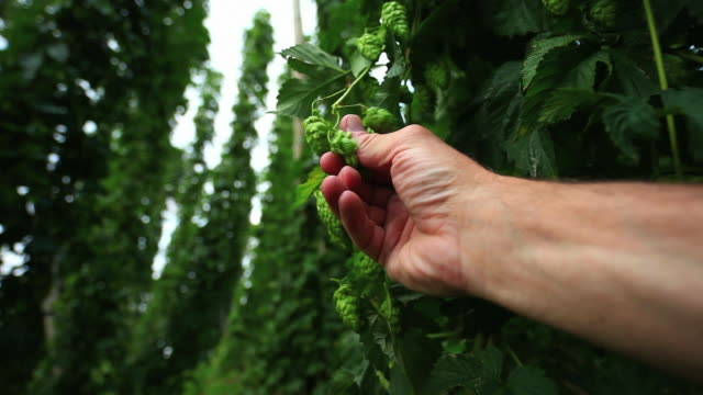 farmer's hand checking hop cone - hops crop stock videos and b-roll footage